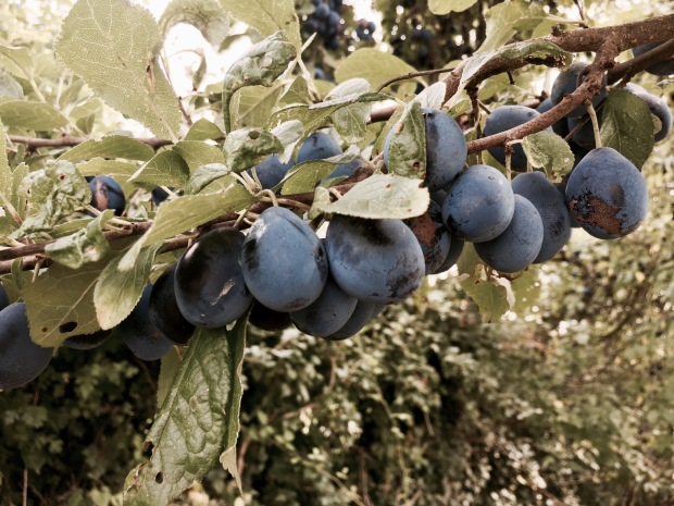 Damsons growing on a tree in Worcestershire, England.