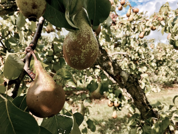 Pears growing on a tree in Worcestershire, England.