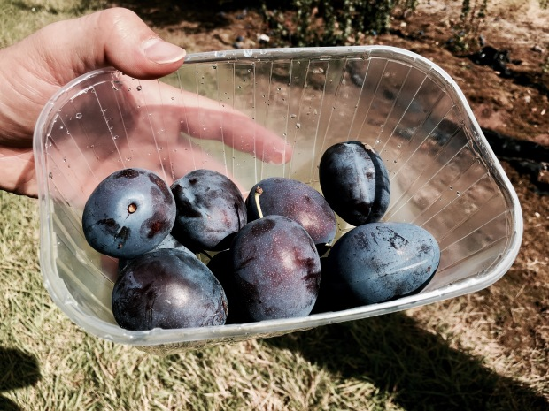 Freshly picked plums sitting in a container.