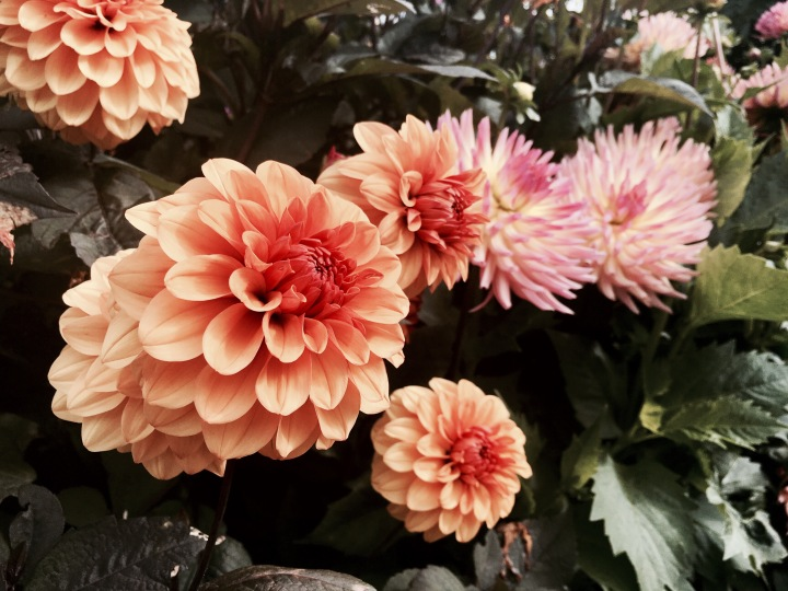 Dahlias growing at the Eden Project in Cornwall, England.
