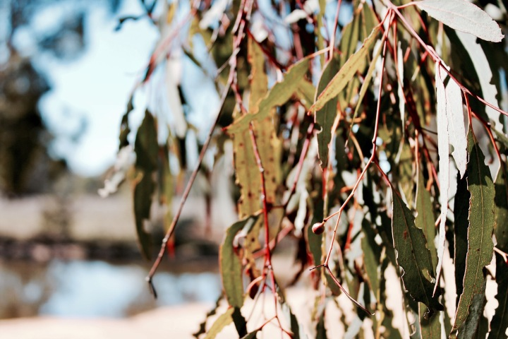 Gum leaves and brown Australian landscape.