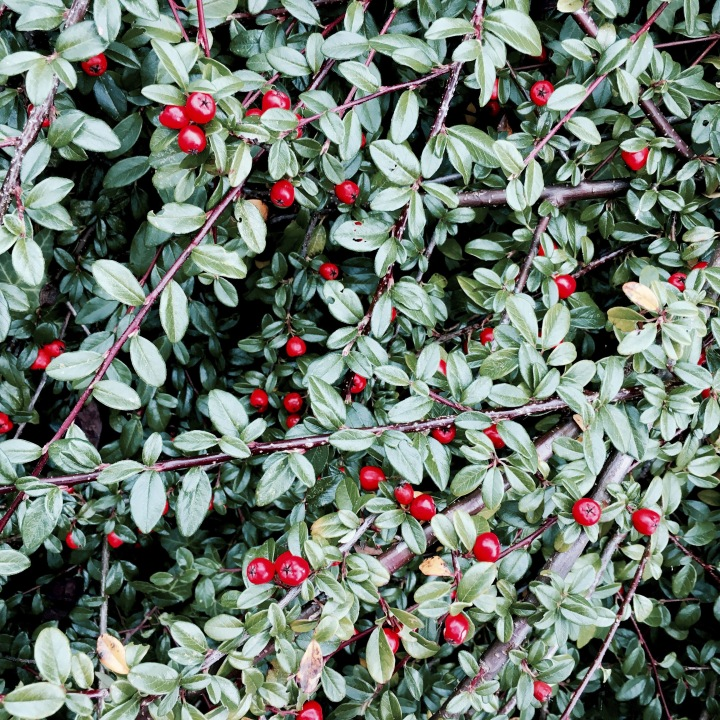 Bush in English garden covered in small red berries.