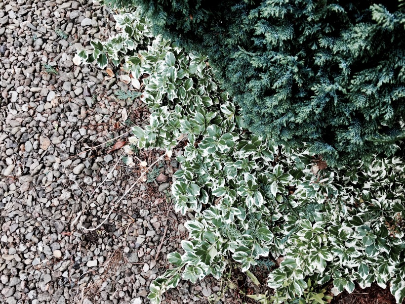 A conifer and ground dwelling plant growing in an English garden.