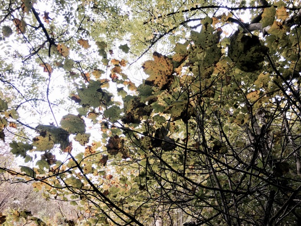 Yellowing leaves on the Malvern Hills in Worcestershire, England.