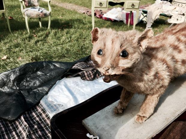 Taxidermy animal for sale at flea fair in Malvern, Worcestershire, England.