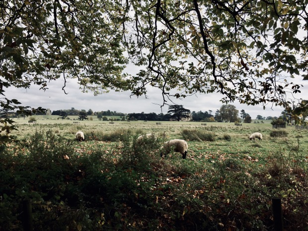 Sheep grazing at Croome Park, Worcestershire, England.