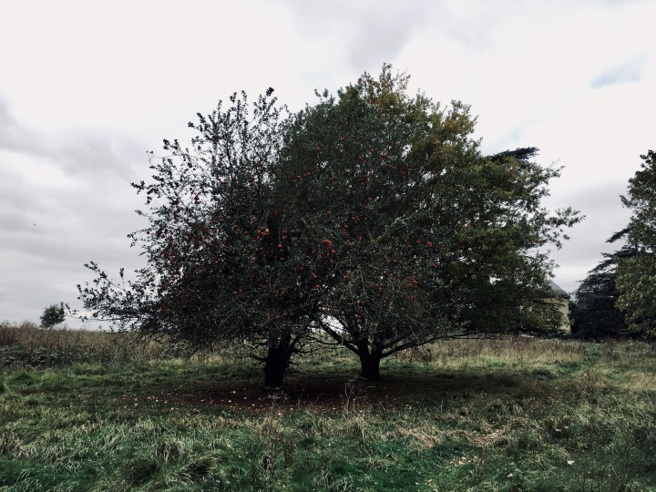 Fruiting apple tree at Croome Park, Worcestershire, England.