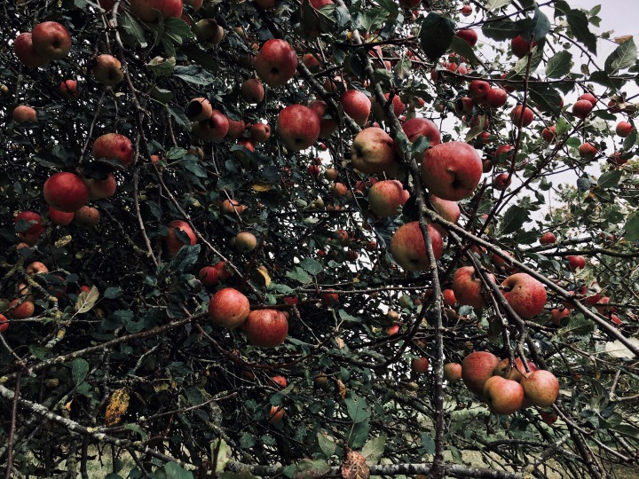 Apples growing on a tree at Croome Park in Worcestershire, England.