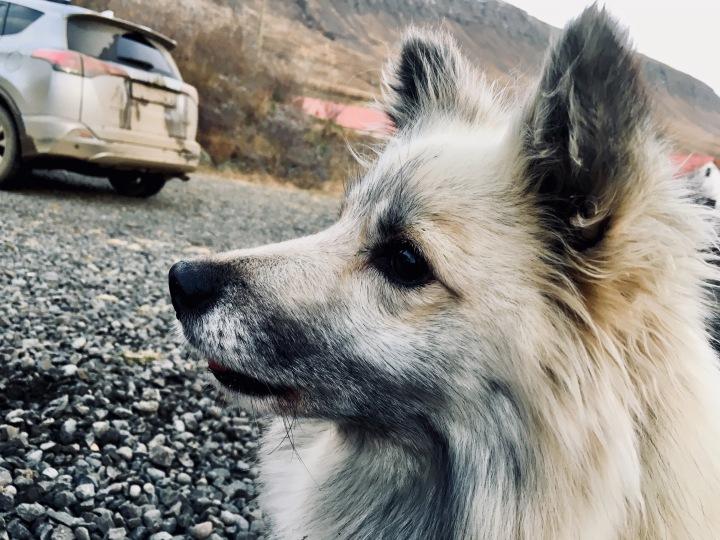 Dyngja the Icelandic sheepdog.