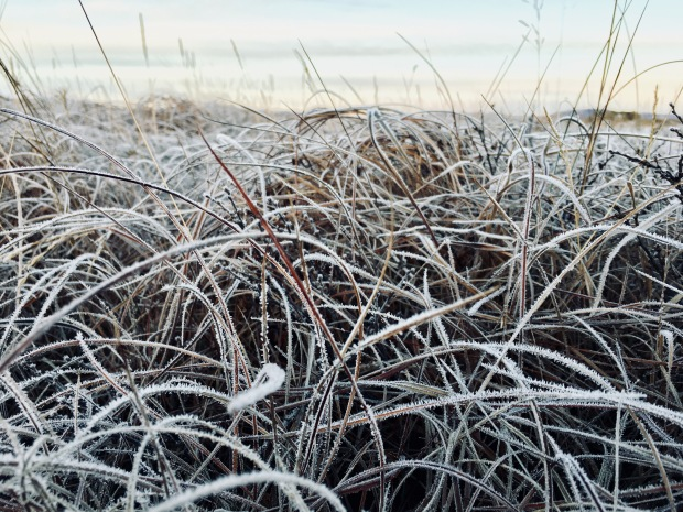 Frozen grass near the Landbrotalaug hot spring, Iceland.