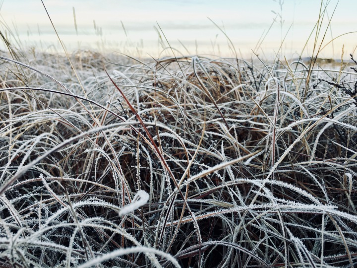 Frozen grass near the Landbrotalaug hot spring, Iceland.