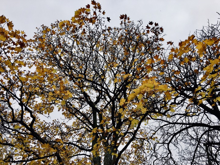 Golden leaves on almost bare branched trees.