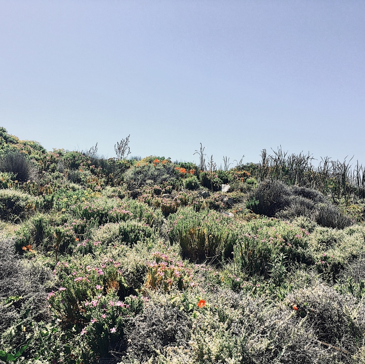 Native vegetation along the coastal path, Hermanus, Western Cape, South Africa.