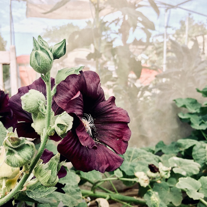 Dark purple hollyhock flower growing in a community garden in Australia.
