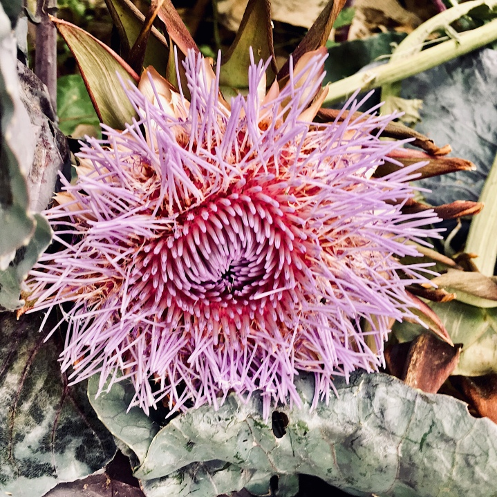 Artichoke in flower in a community garden in Wagga Wagga, NSW, Australia.