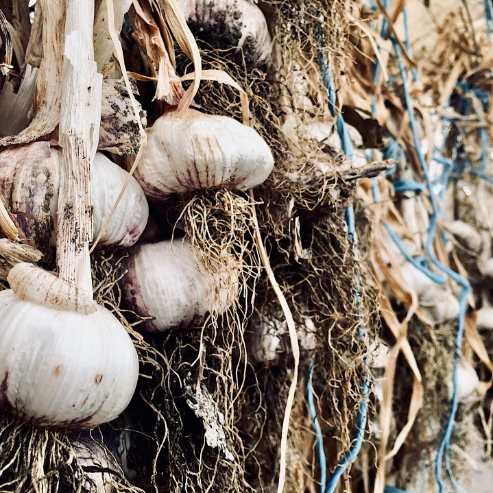 Cloves of garlic hang to dry in a community garden in Wagga Wagga, NSW, Australia.