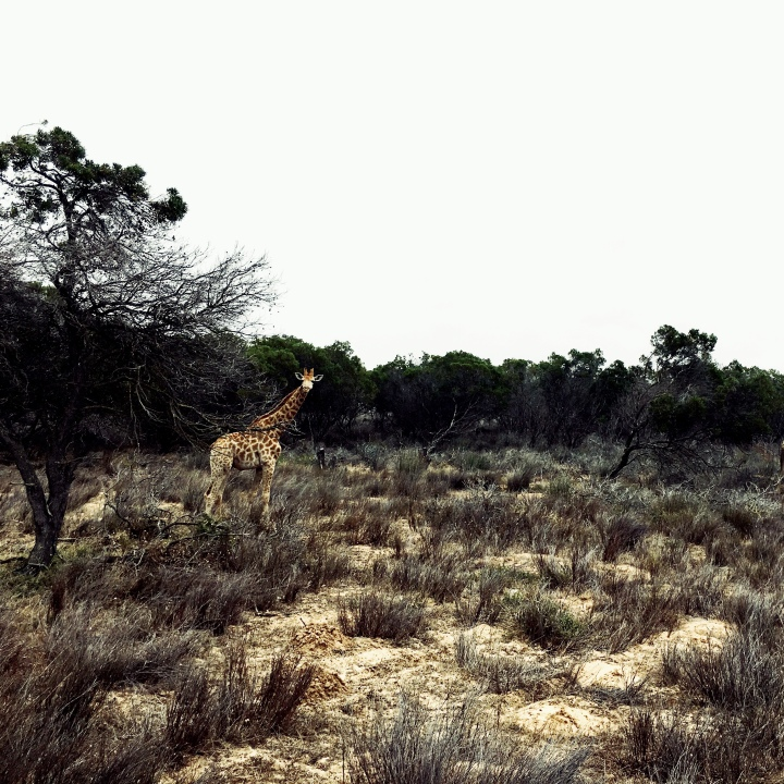 Giraffe at Buffelsfontein Game Reserve, Western Cape, South Africa.