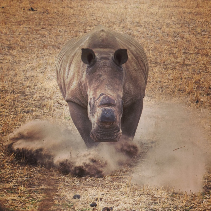 Rhino charging at Buffelsfontein Game Reserve, Western Cape, South Africa.