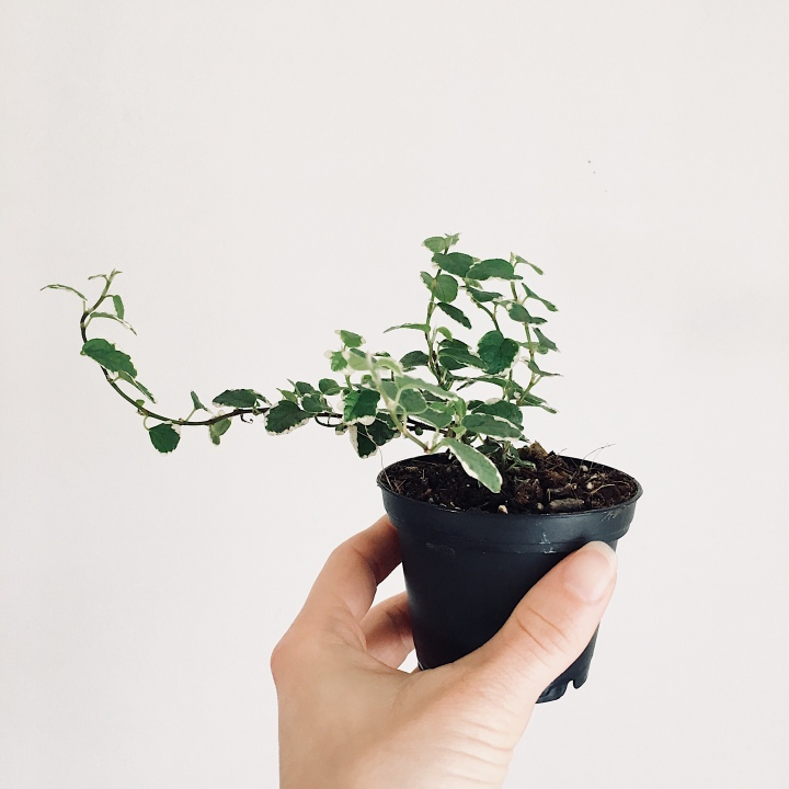 Hand holding small house plant.