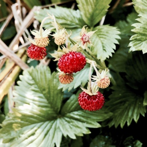 Wild strawberries in Worcestershire, England.