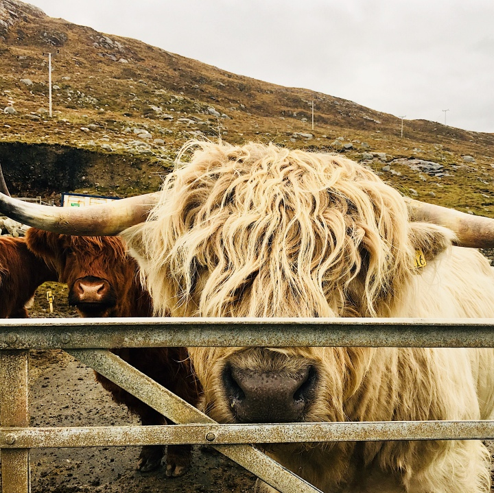 Highland Cattle at Huisinis Gateway, Isle of Harris, Scotland.