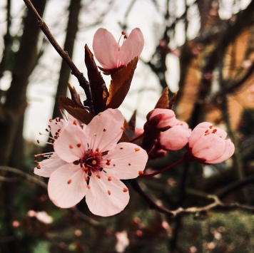A pink blossom flowering on a tree in Worcestershire, England.