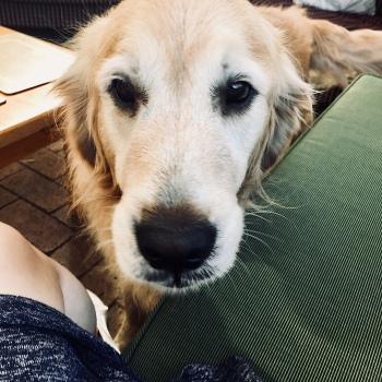 Golden retriever dog.