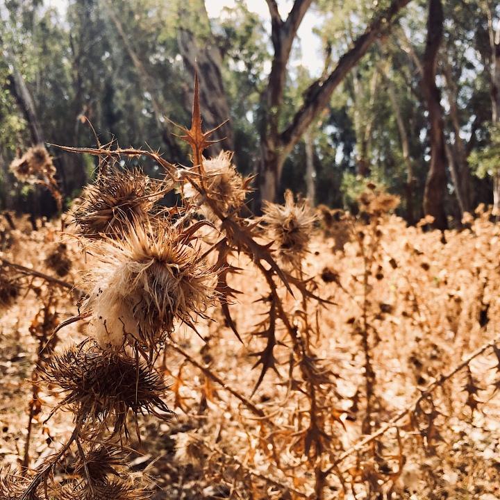 Dry bushland at the Narrandera koala reserve, New South Wales, Australia.