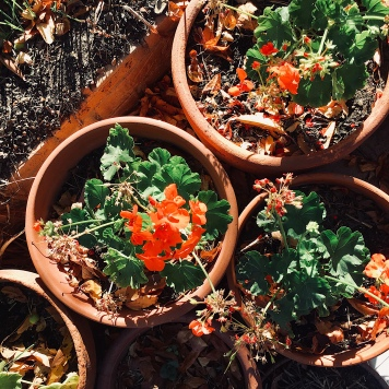 Flowerpots of red begonias.