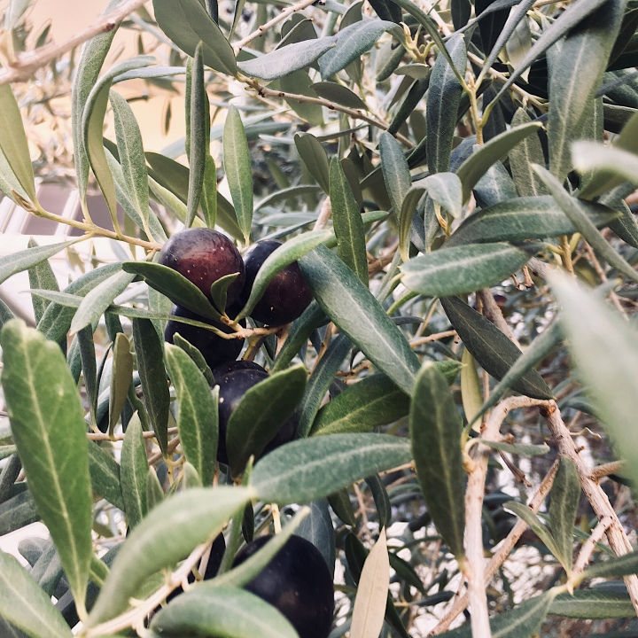 Olives growing on a tree in Wagga Wagga, New South Wales, Australia.