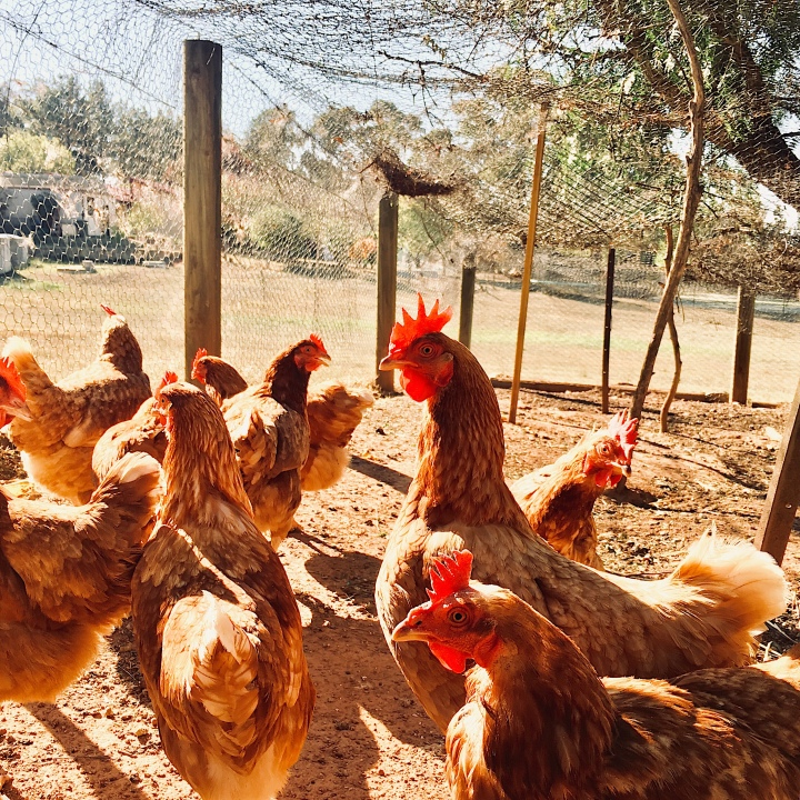 Chickens in a coop in Australia.