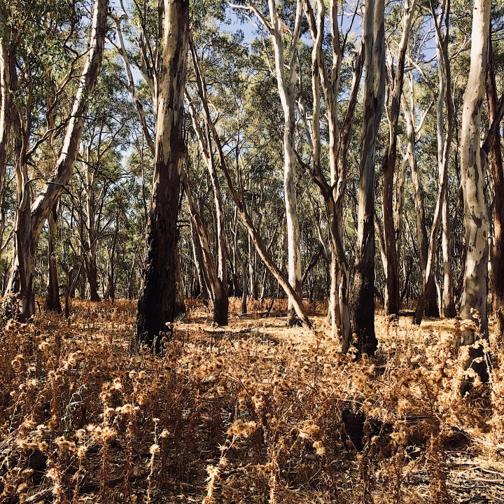 Dry bushland at the Narrandera koala reserve, New South Wales, Australia.
