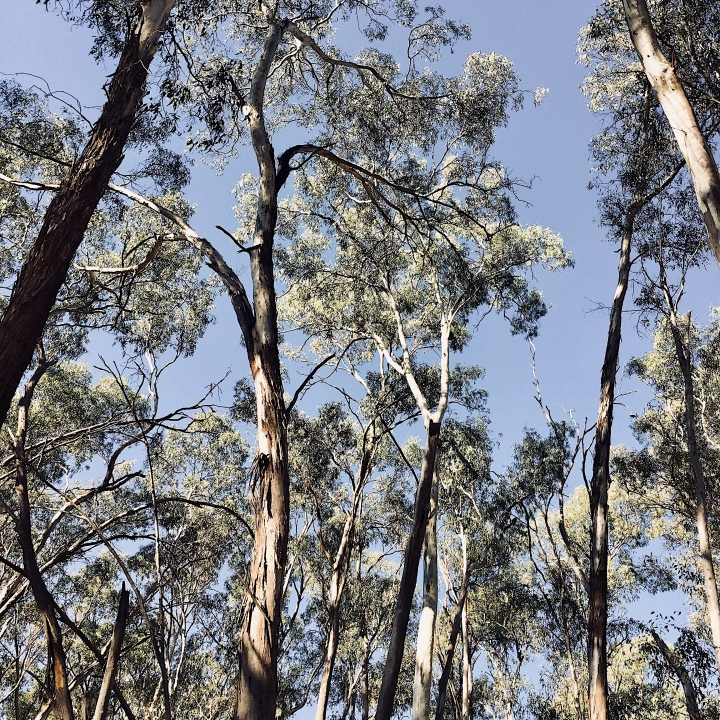 Looking up at gum trees in the Narrandera koala reserve, New South Wales, Australia.