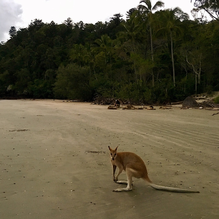 Wallaby on Casuarina Beach, Cape Hillsborough, Queensland, Australia.