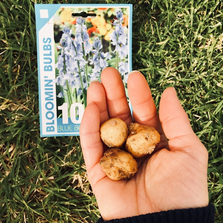 Hand holding bluebell bulbs ready to be planted.