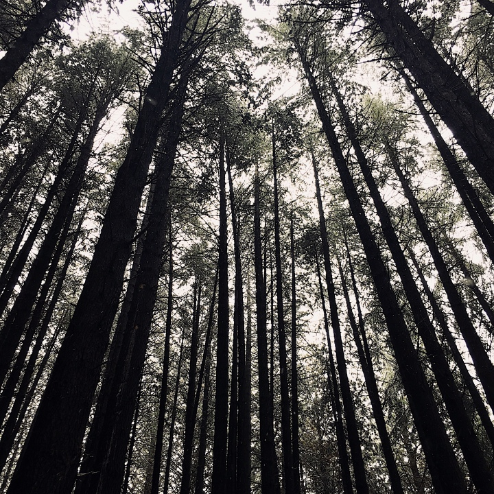 Looking up amongst the trees at the Sugar Pine Walk, Laurel Hill, New South Wales, Australia.