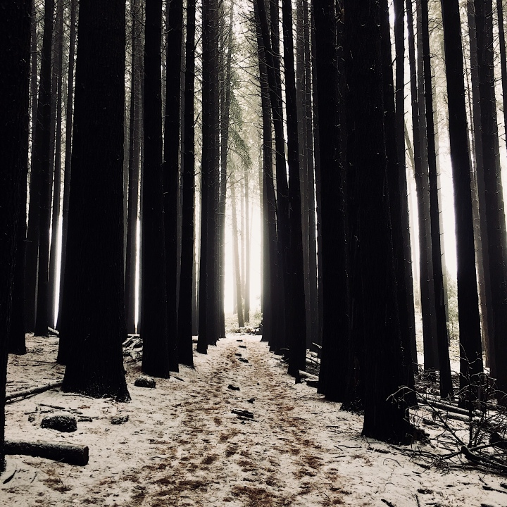The Sugar Pine Walk at Laurel Hill, New South Wales, Australia covered in snow.