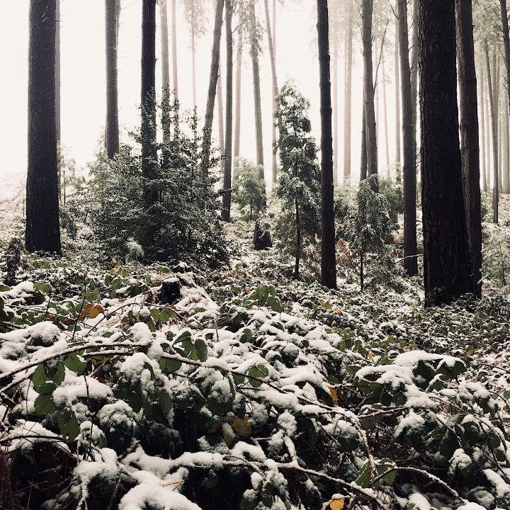 Snow covered foliage within the Sugar Pine Walk, Laurel Hill, New South Wales, Australia.