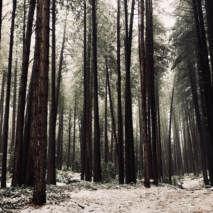 A snowy Sugar Pine Walk at Laurel Hill, New South Wales, Australia.