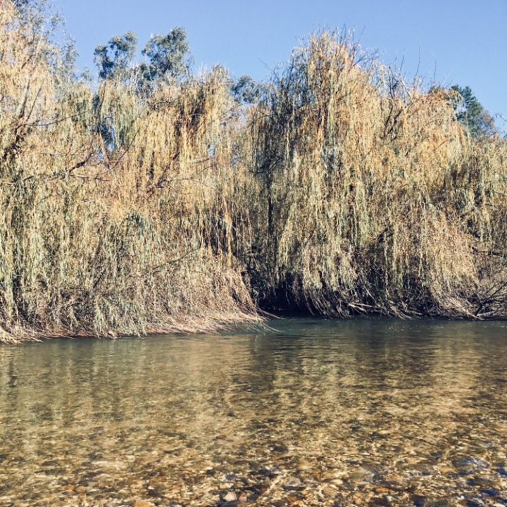 Weeping willows on the banks of the Murrumbidgee River at Oura, New South Wales, Australia.