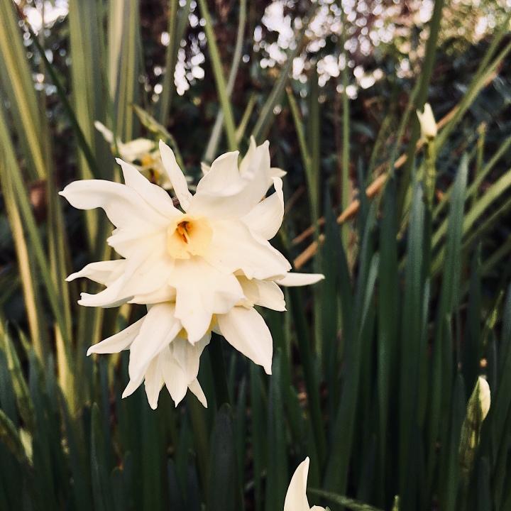 Jonquils flowering in a garden.