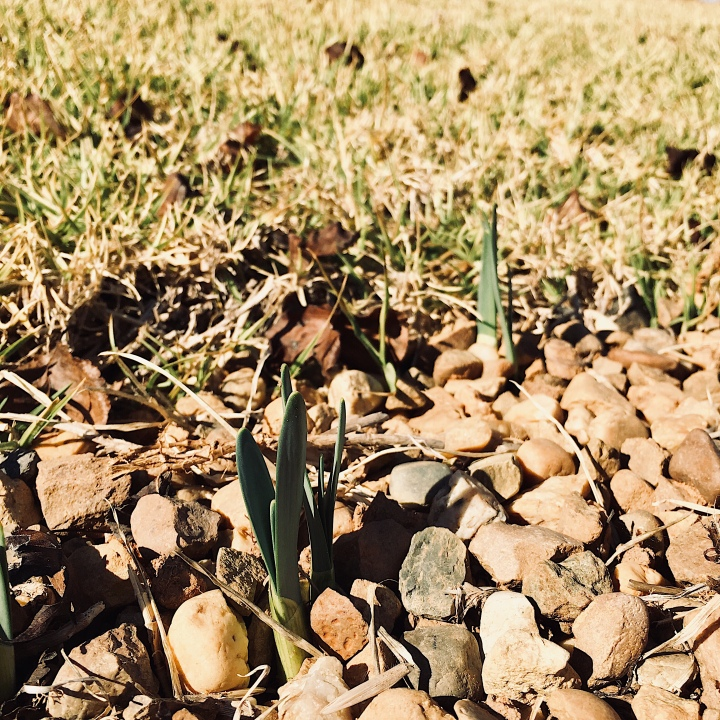 Green daffodil stems emerging from the ground.