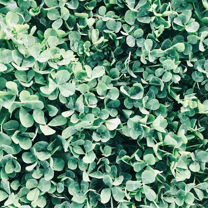 A clover patch.