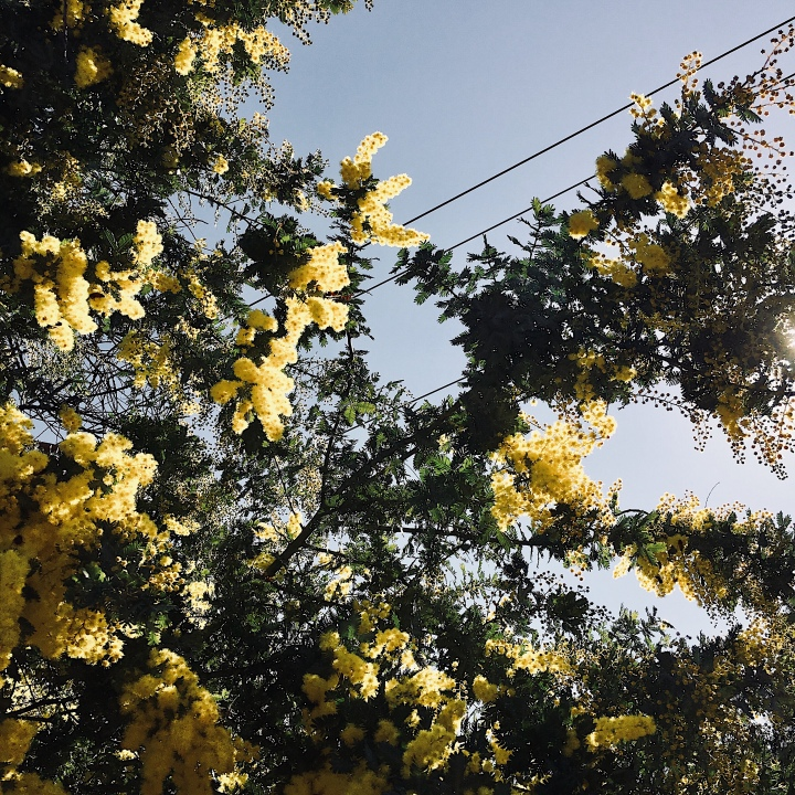 Looking up at a wattle tree in bloom.