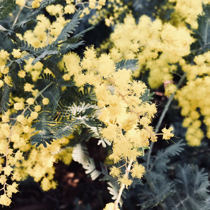 Wattle flowers in Wagga Wagga, New South Wales, Australia.