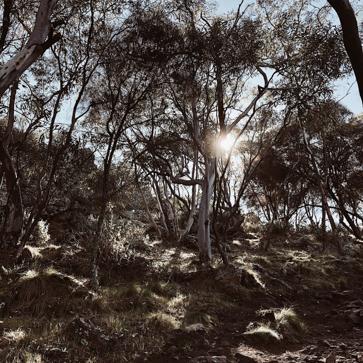 Early morning sun peeking through the gum trees at The Rock Nature Reserve, The Rock, New South Wales, Australia.