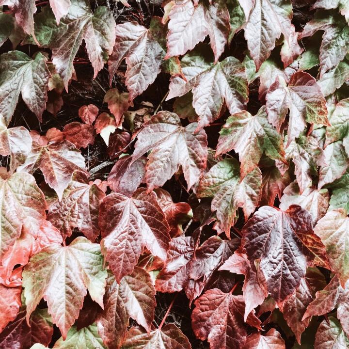 Autumnal vine.