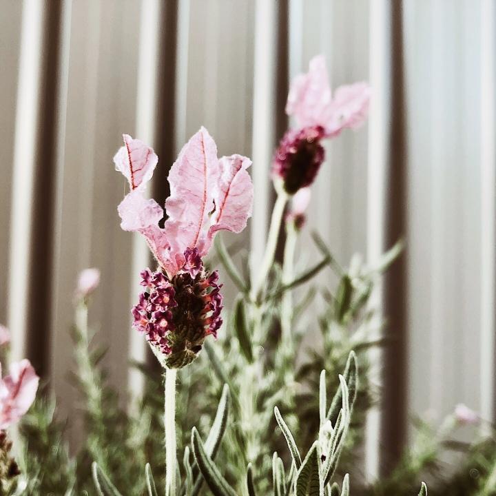 Close up of flowering lavender.