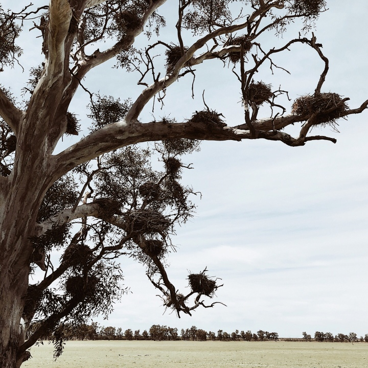 Empty cormorant nests sitting in a large gum tree, western New South Wales, Australia.