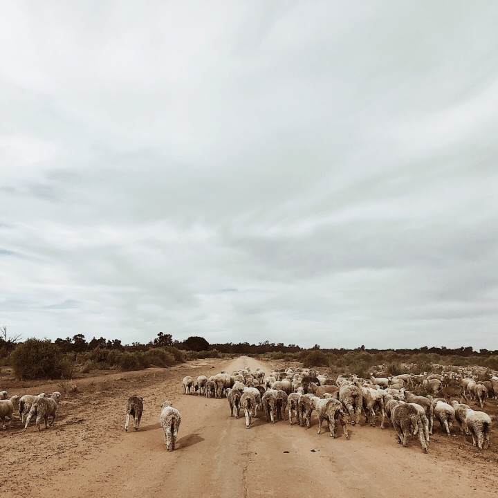 A mob of merino sheep on Nap Nap Road, western New South Wales.